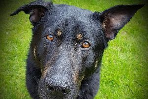 Derbyshire police announce death of Police dog Enzo. Picture courtesy of Derbyshire police.