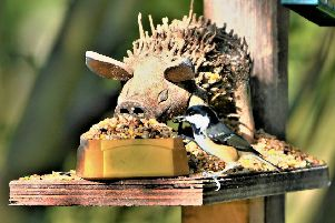 This coal tit doesn't seem phased by this unusual but comical bird feeder. A fantastic close-up taken by Allan Hickman.