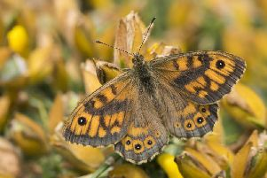 The Wall butterfly is making a come back at a Derbyshire reserve. Photo: Butterfly Conservation.