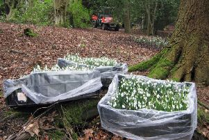 Snowdrop planting at Wallington