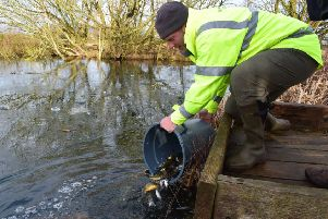 The Environment Agency's Morton Heddell-Crowe releases fish into Dissington Pond.