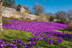 The beautiful display of crocus at Wallington Hall pictured by our photographer Jane Coltman