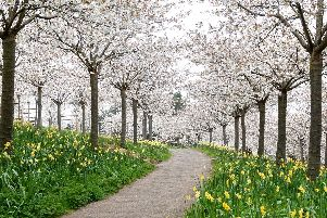 In full bloom - the beautiful Cherry Orchard. Pictures by Jane Coltman