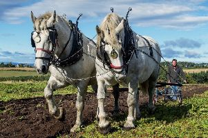 Heavy horses at Hay Farm. Picture by Jane Coltman