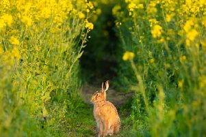 FIRST: A hare in a tunnel of gold, just outside Denwick, by Calum Gladstone. (343 likes)