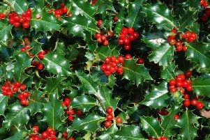 Holly was a symbol of eternal life and fertility and they believed that hanging the plant in homes would bring good luck and protection. Christians continued the holly tradition from Druid, Celtic and Roman traditions, changing its symbolism to reflect Christian beliefs