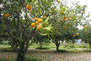 The sweet smells emitted from lemon, lime and grapefruit trees can help anyone relax, but can cause a lot of maintenance issues when grown inside.''Needing at least eight hours of sunlight a day and a large water once a week, the plants survive best in the sunnier climates of Spain.''A sourness can be created in the fruit, and smell, of the plant if enough sun isnt received.