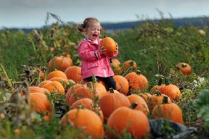 FESTIVAL: Eliza Entwisle, aged two from Pontefract, among the pumpkins at Farmer Copleys.