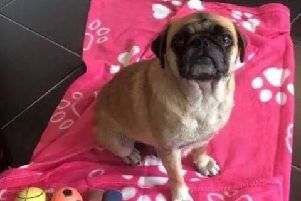 The Chug - a cross between a Chihuahua and the Pug - was found running loose on the M62