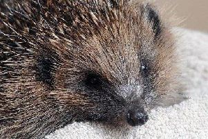 A mother hedgehog and her babies were killed after being stamped on.