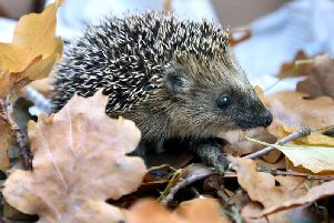 A hedgehog and her three babies were beaten to death in a brutal attack in Wakefield (stock image).