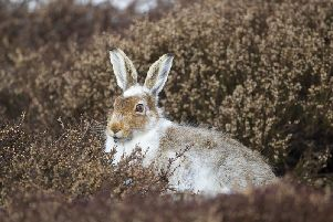 Mountain hare in partial winter coat. Photo by Mark Hamblin.