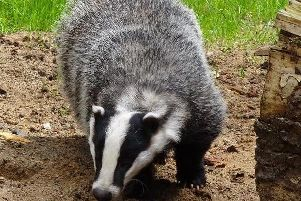 Badgers will not be culled in Derbyshire this year.