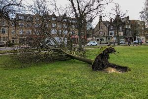 Devastation - One of the storm-damaged trees in Harrogate.