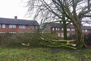 Storm damage in Starbeck - A tree felled by Storm Erik. (Picture by Stuart Rhodes)