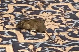 The rat spotted in the Wetherspoon pub. Picture: Neil Fletcher