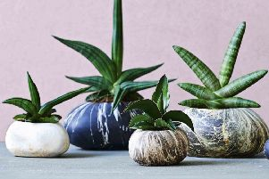 Stone plant container and free plant. Picture: Dobies