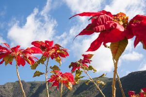 Poinsettias growing in the wild in their native Mexico.