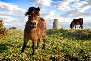 The Exmoor ponies on Cleadon Hills. Picture by Tim Richardson