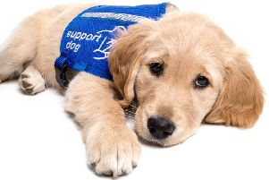 Sheffield-based charity Support Dog will be training 12 eight-week puppies in 2018 to become assistance dogs for children and adults.