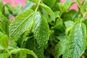 Peppermint has been found to lower frustration and boost alertness. Menthol, found in the plant, is also a powerful muscle relaxant and can aid digestion.