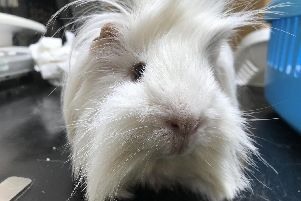 William the guinea pig who was found abandoned in a box