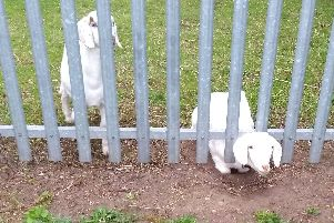 A goat got her head stuck between the bars of a metal fence in Norton, Stockton-on-Tees. Pic: RSPCA/PA Wire.
