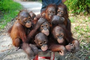 Older orangutans on their way to school at the rehabilitation centre in Ketapang, Borneo.