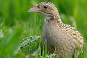 A corncrake ' its population is mainly in the Scottish islands.