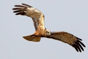 Photograph of a marsh harrier. Picture: David Newby