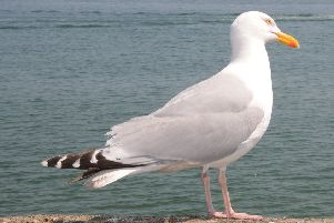 Seagulls have 'mugged' 125 people in Scarborough since 2016.