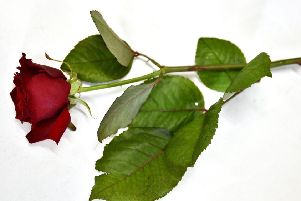 A red rose for Valentines day
