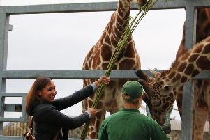 Star Olympian Jessica Ennis reaches for the sky to feed YWP giraffes