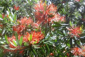 The vibrant Chilean Fire Bush which will be on display at Totley Open Gardens