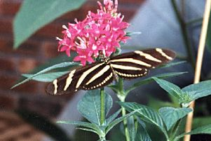 Zebra Butterfly at North Anston Butterfly House