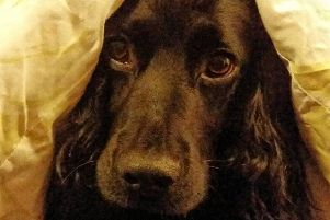 Vets advising pet owners on how to protect petrified pets as Bonfire Night approaches. Lenny hiding from fireworks.