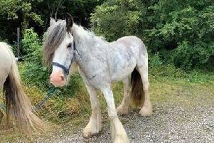 One of the two horses found weaving in and out of traffic in Caton Road, Lancaster this morning (July 12)