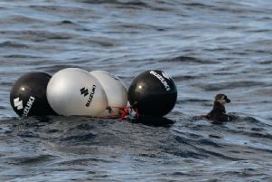 A puffin was rescued after it became wrapped in balloons. Pictures by Whitby Whale Watching.