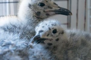 Two baby gull chicks that we reared last baby season. Image by Whitby Wildlife volunteer and photographer Jayne King.