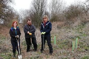Giving the large yellow brimstone butterfly a helping hand by planting alder buckthorn trees.