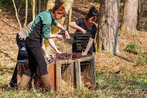 Beavers released into forest