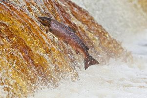 Environment officers are targeting businesses in Yorkshire in a crackdown on illegal salmon fishing. Picture Owen Humphreys/PA