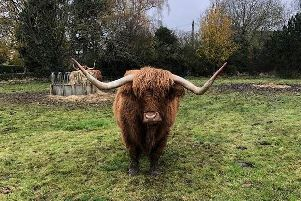 Highland cows are coming to live in Wigan