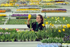 Apprentice Tara Noon tends to the daffodils grown in The Arium plant nursery near Shadwell, which has super high-tech growing methods.