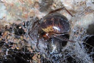 Noble false widow spider - Buglife/PA Wire