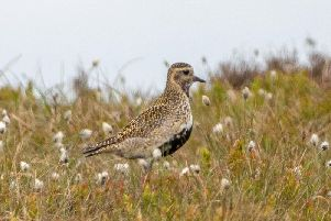 A golden plover, a species that has seen its numbers increase in the Peak District National Park according to the findings of a new survey. Picture by Moors for the Future Partnership.