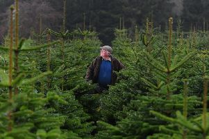 Dickie Ryder with his Christmas trees on his farm at Dace Banks. Credit: Simon Hulme