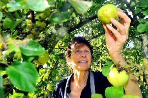Elspeth Biltoft from Rosebud Preserves, Healey near  Masham   picking  some apples in her garden.