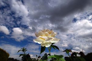 Is the White Rose the best emblem for Yorkshire?