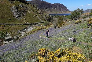 Natalie Coates from Drifield in East Yorkshire walks through a patch of Bluebells at Rannerdale Knott in the Lake District.
